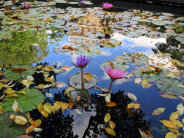 Conservatory Garden Water Lilies