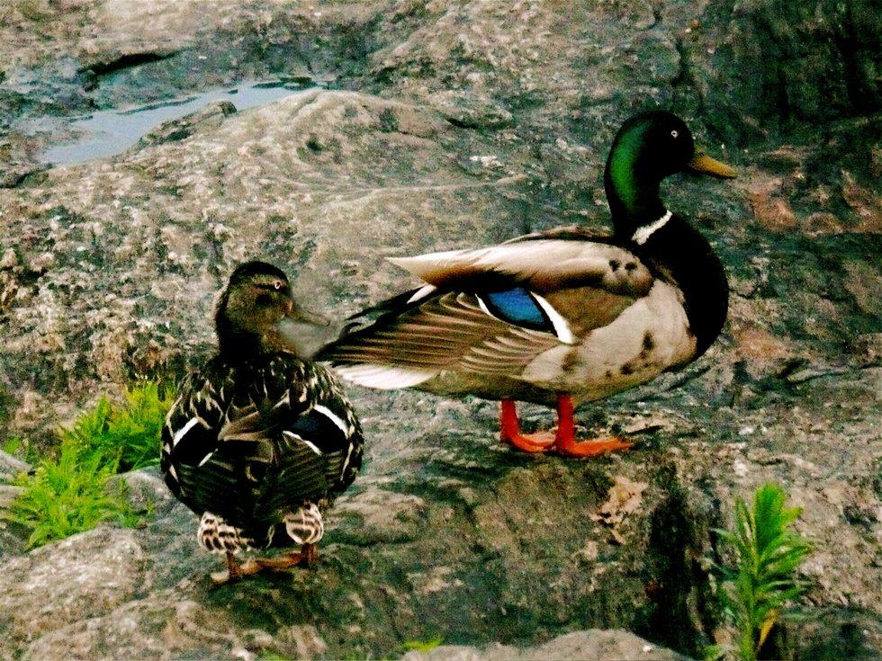 Ducks on the rocks