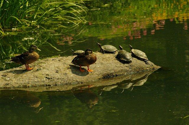 Ducks and turtles enjoying the sun