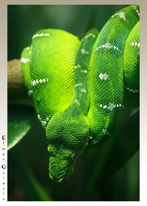 Emerald Tree Boa ( Corallus caninus )