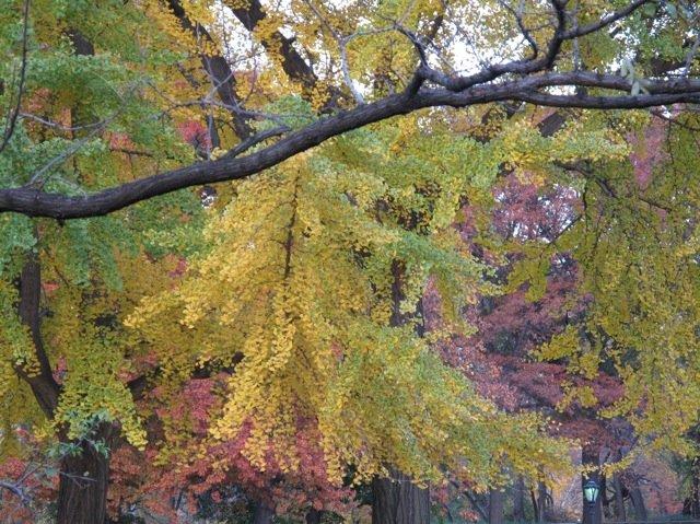 Central Park Autumn Trees 2009
