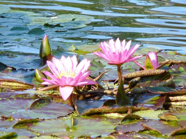 Water lilies at the fountain