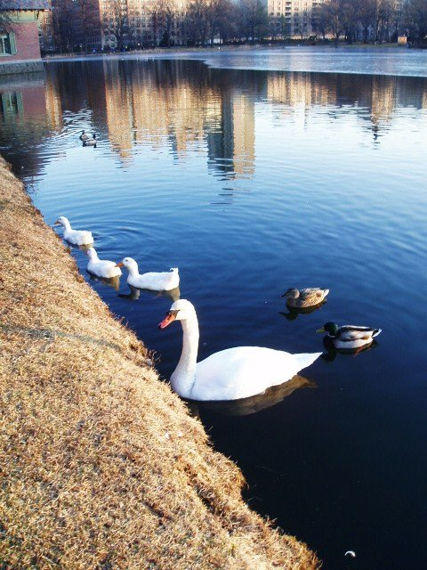 Blended Family -Swan & Three White Ducks