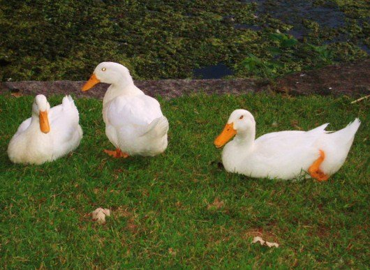 Where Did the White (Lucky) Ducks Come From?