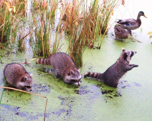 A Family of Raccoons & Friends