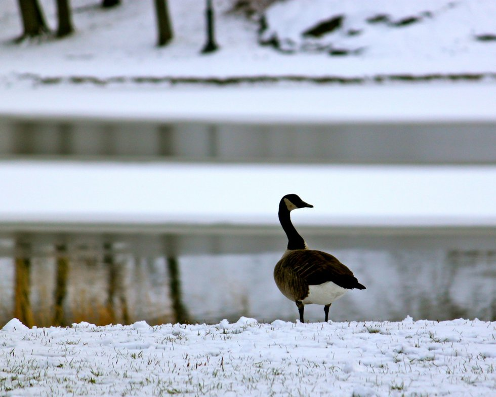 Goose on the Snow