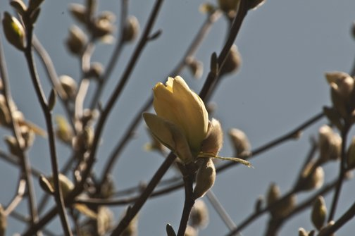 Yellow Magnolias