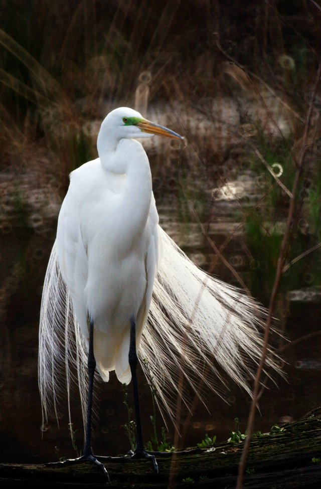 Egret at Turtle Pond