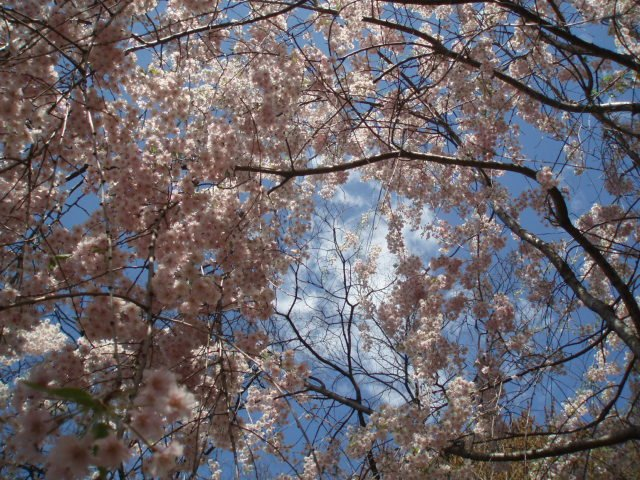 Cheery Blossoms with Whisp of Cloud