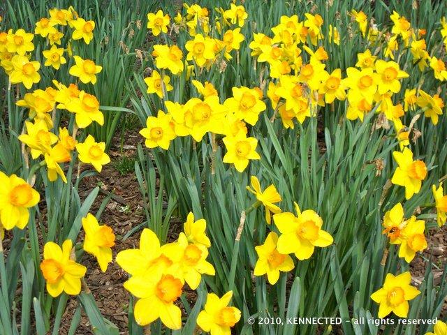 Daffodil's