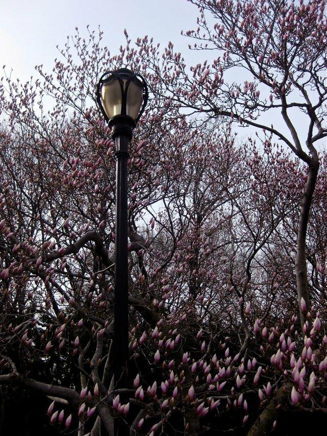 Budding Magnolias