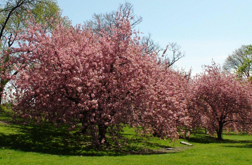 Cherry Blossoms/Central Park West