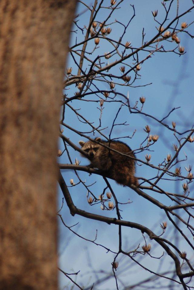 Raccoon in Blooming Tree
