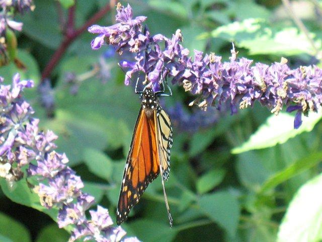 Butterfly in Shakespeare Garden