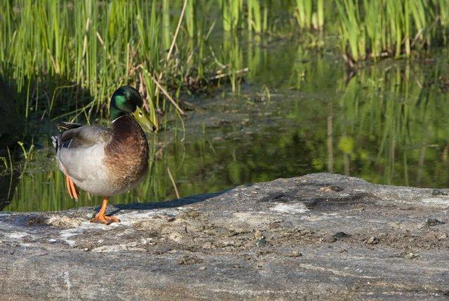Duck in the Sun