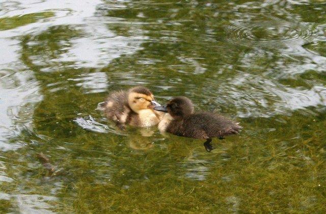 Love Struck Ducks