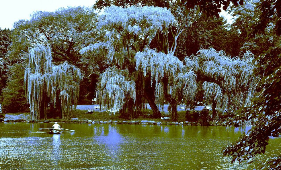 willow trees by the lake