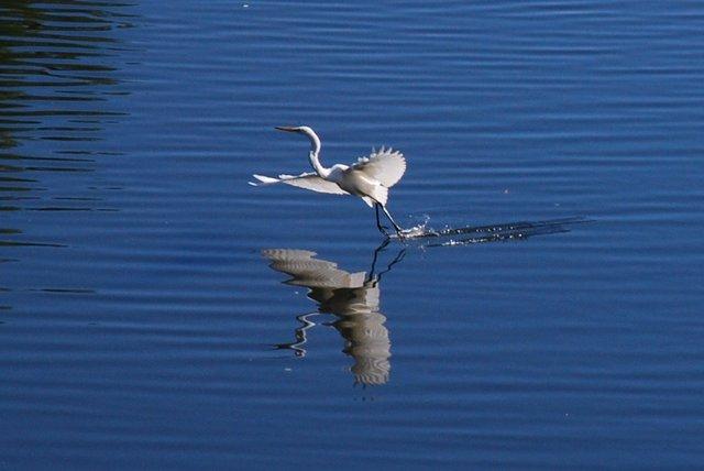 Great egret on Turtle Pond