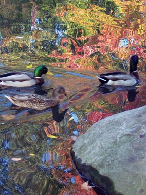 more ducks, more reflection