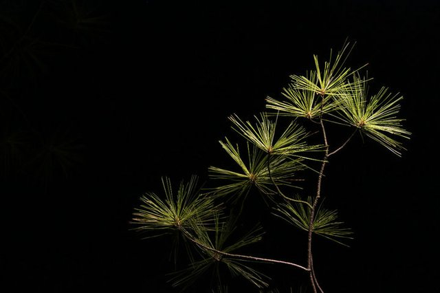 night pine-tree