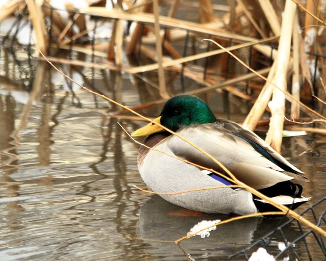 Winter Duck