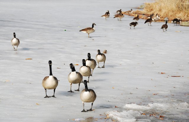 Ice Parade of the Canda Goose