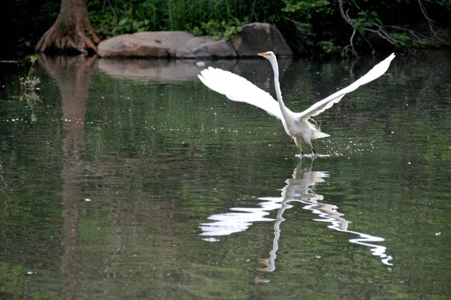 Egret Lift-Off