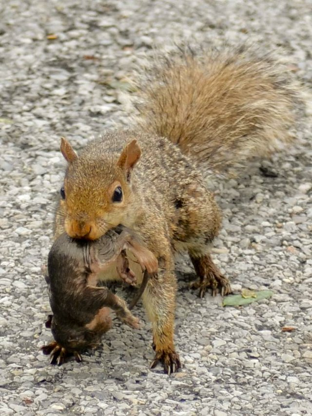 Mother and baby squirrel looking for a new home after being displaced by Irene