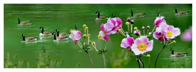 The garden and ducks