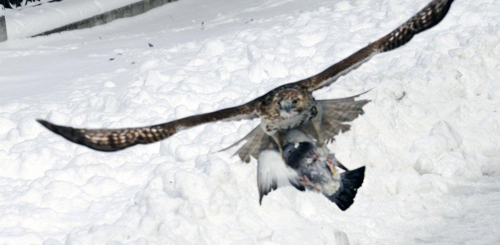 Hawk and Pidgin