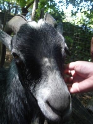 Spanky The Goat Aka Billy