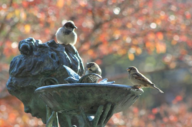 Sparrows at fountain