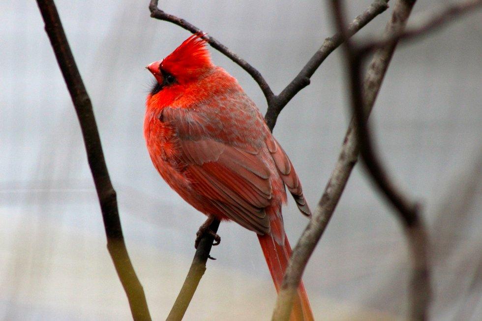 Plump Cardinal