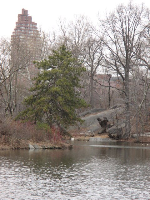 Fir-tree in Central park