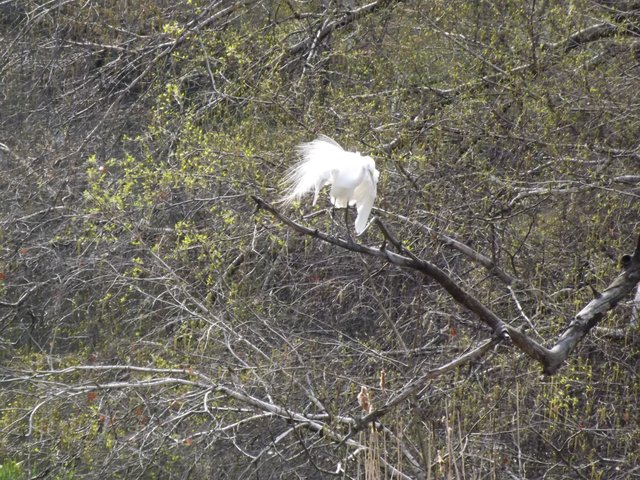White egret perched and preening.