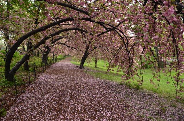 Kwanzan cherry after rain