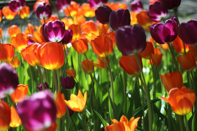 A Riot of Tulips