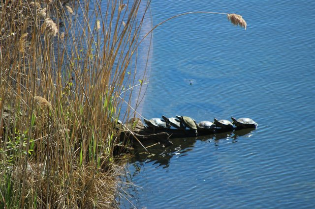 Painted Turtles in a Row