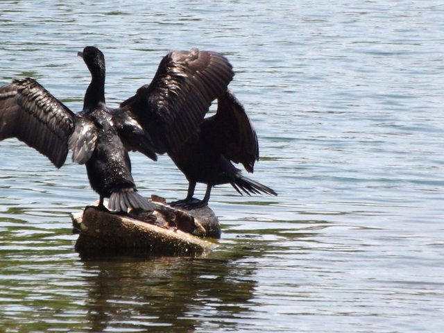 Cormorant drying its wings.