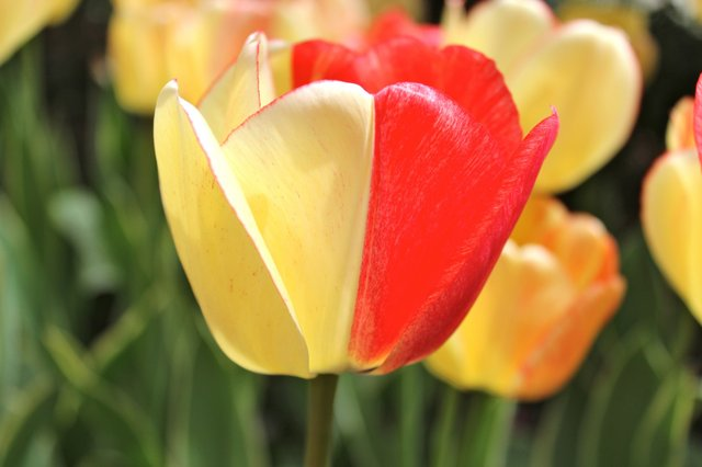 Half and Half Tulip