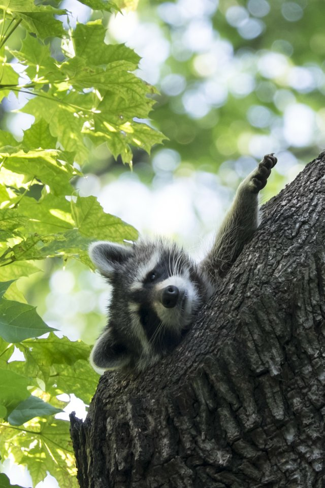 Raccoon in the Rambles