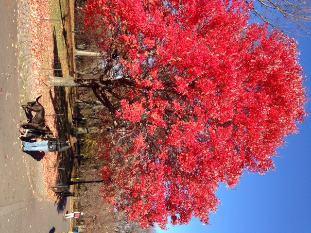Red Maple at Great lawn