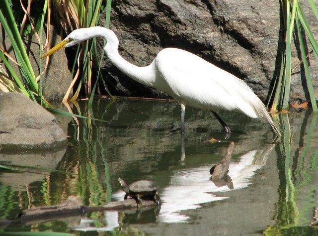 Adult White Morph (Great White Heron)