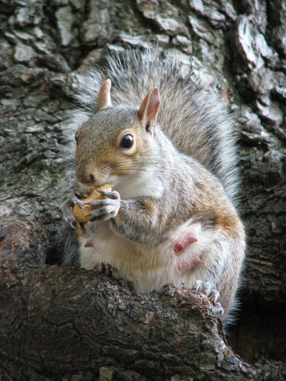 Female squirrel