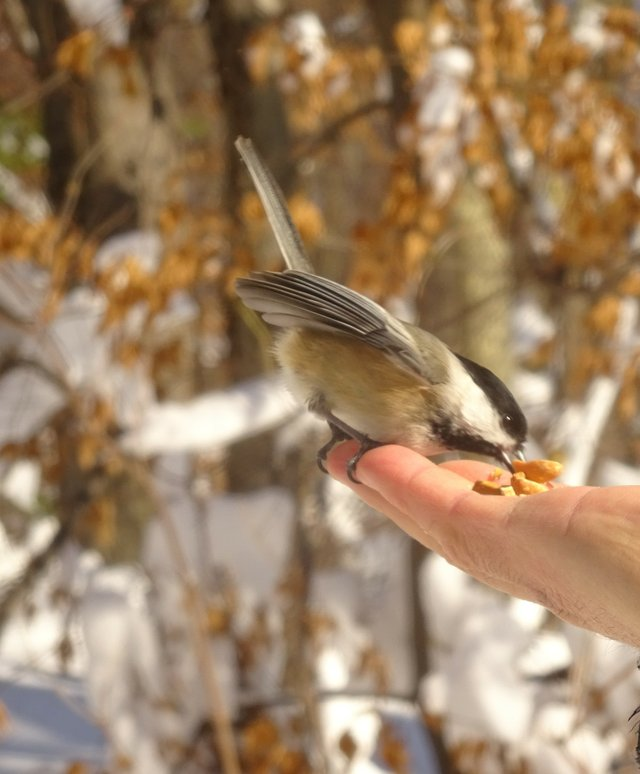 A Chickadee being hand fed