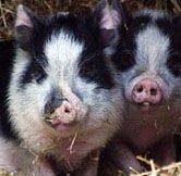 pigs.jpg.jpe