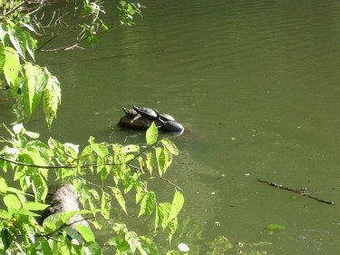 Turtles at The Lake