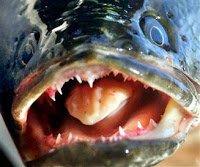 snakeheadfish.jpg.jpe