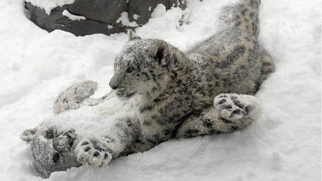 Snow-Leopard-cubs_in_snow.jpg.jpe