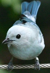 bluegraytanager.jpg.jpe